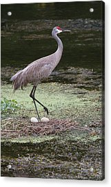 Acrylic Print featuring the photograph Sandhill Crane And Eggs by Paul Rebmann