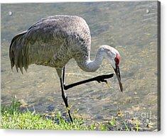 Sandhill Crane Balancing On One Leg Acrylic Print by Sabrina L Ryan
