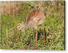 Acrylic Print featuring the photograph Sandhill Crane Chick by Jennifer Zelik
