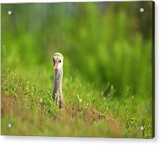 Sandhill Crane Chick Resting In Grass Acrylic Print