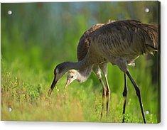 Sandhill Crane Feeding Chick, Grus Acrylic Print