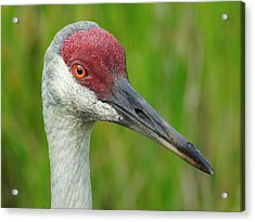 Acrylic Print featuring the photograph Sandhill Crane Female Close Up by Lynda Dawson-Youngclaus