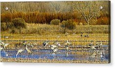 Sandhill Flock In Fall Acrylic Print