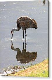 Sandhill Crane On Sparkling Pond Acrylic Print by Carol Groenen