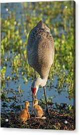Sandhill Crane With Both Colts, Grus Acrylic Print