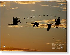 Sandhill Cranes At Sunset Acrylic Print