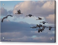 Sandhill Cranes Acrylic Print by Beverly Parks