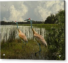 Sandhill Cranes Courting Acrylic Print