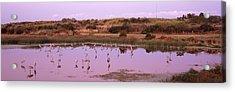 Sandhill Cranes Grus Canadensis Acrylic Print
