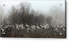 Sandhill Cranes In The Fog Acrylic Print by Farol Tomson