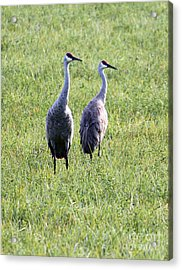 Acrylic Print featuring the photograph Sandhill Cranes In Wisconsin by Debbie Hart