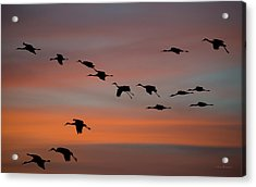 Sandhill Cranes Landing At Sunset Acrylic Print by Avian Resources