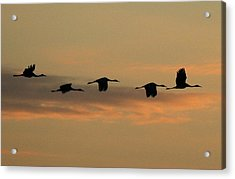 Sandhill Cranes Over Horicon Marsh Acrylic Print