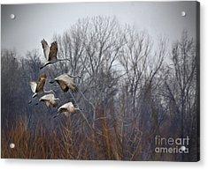 Sandhill Cranes Takeoff Acrylic Print
