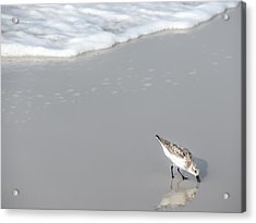 Sandpiper Acrylic Print by CarolLMiller Photography