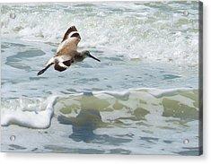 Sandpiper Flight Acrylic Print