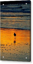 Sandpiper In Golden Dawn Surf Acrylic Print by Cindy Croal