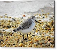 Sandpiper Acrylic Print