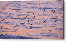 Sandpipers At Sunset Acrylic Print