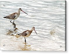 Sandpipers Foraging Acrylic Print