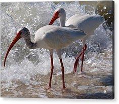 Sanibel White Ibis Acrylic Print