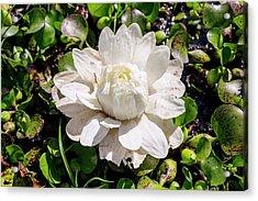 Santa Cruz Water Lily (victoria Cruziana) Acrylic Print by Paul Williams