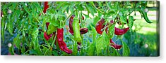 Santa Fe Grande Hot Peppers On Bush Acrylic Print by Panoramic Images