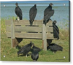 Sarasota Vultures Acrylic Print
