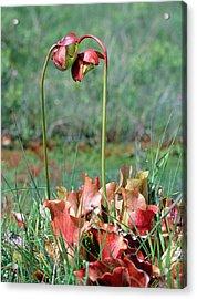 Sarracenia Purpurea Acrylic Print by Bob Gibbons/science Photo Library