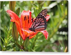 Saskatchewan Prairie Lily And Butterfly Acrylic Print by Ryan Crouse