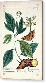 Sassafras Plant Acrylic Print by National Library Of Medicine