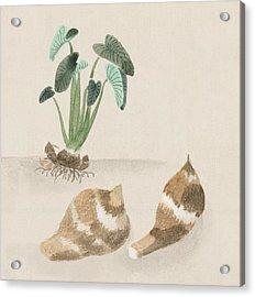Satoimo Taro Potato  Acrylic Print by Aged Pixel