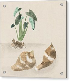 Satoimo Taro Potato  Acrylic Print