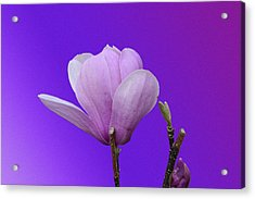 Saucer Magnolia Acrylic Print by Larry Bishop