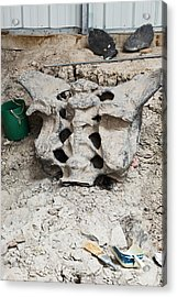 Sauropod Dinosaur Sacrum Fossil Acrylic Print by Jim West