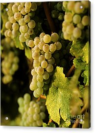 Sauvignon Blanc Cluster Acrylic Print by Craig Lovell