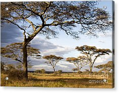 Savanna Acacia Trees  Acrylic Print