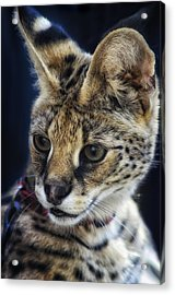 Savannah Jungle Cat Acrylic Print