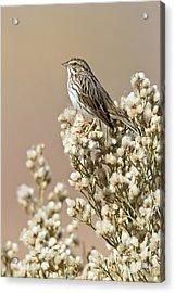 Acrylic Print featuring the photograph Savannah Sparrow by Bryan Keil