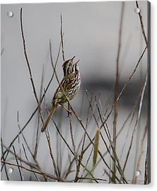 Savannah Sparrow Acrylic Print by Marty Saccone
