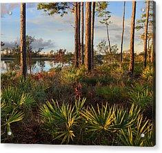 Saw Palmetto And Longleaf Pine Acrylic Print by Tim Fitzharris