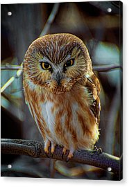 Acrylic Print featuring the photograph Saw-whet Owl by Britt Runyon