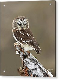 Saw Whet Owl Sleeping In A Winter Forest Acrylic Print by Inspired Nature Photography Fine Art Photography