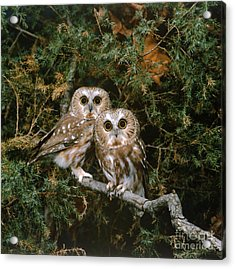 Saw-whet Owls Acrylic Print by G Ronald Austing