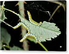 Sawfly Larvae On Rose Leaf Acrylic Print