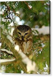 Sawhet Owl Acrylic Print