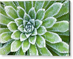 Saxifraga 'esther' Leaves Abstract Acrylic Print by Nigel Downer