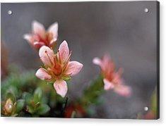 Saxifraga Nathorstii Flowers Acrylic Print by Simon Fraser/science Photo Library