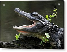 Say Aah - American Alligator Acrylic Print by Meg Rousher