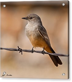 Say's Phoebe On A Barbed Wire Acrylic Print